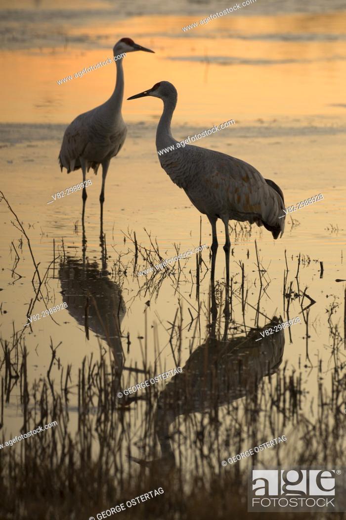 Stock Photo: Sandhill crane silhouette on pond, Bernardo Wildlife Management Area, New Mexico.