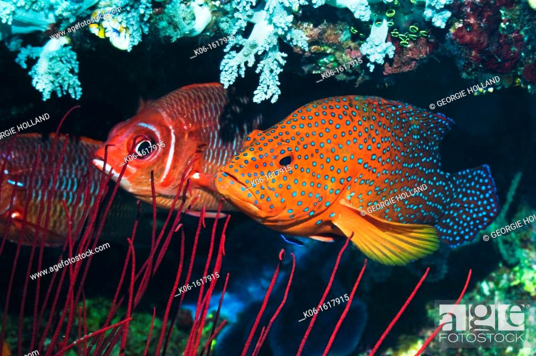 Stock Photo: Coral hind Cephalopholus miniata and a Silverspot squirrelfish Sargocentron caudimaculatum  Raja Ampat, West Papua, Indonesia.