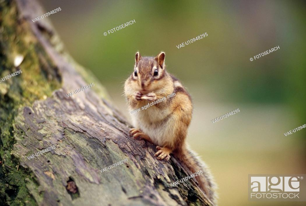 Stock Photo: Chipmunks.