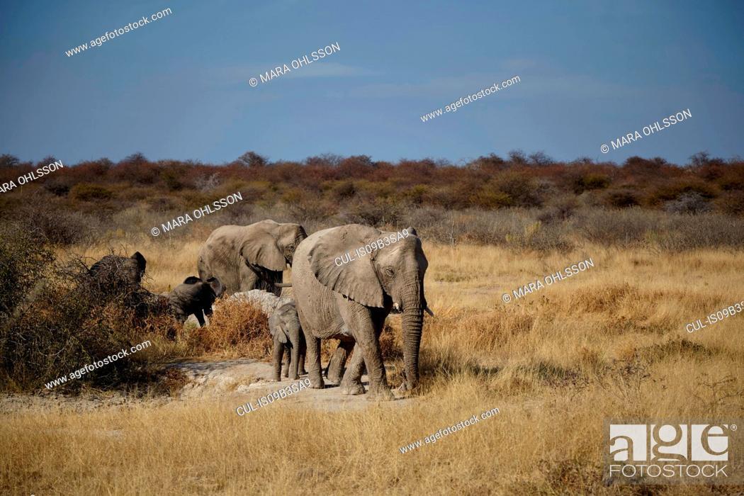 Stock Photo: Female and juvenile elephants walking in arid plain, Namibia, Africa.