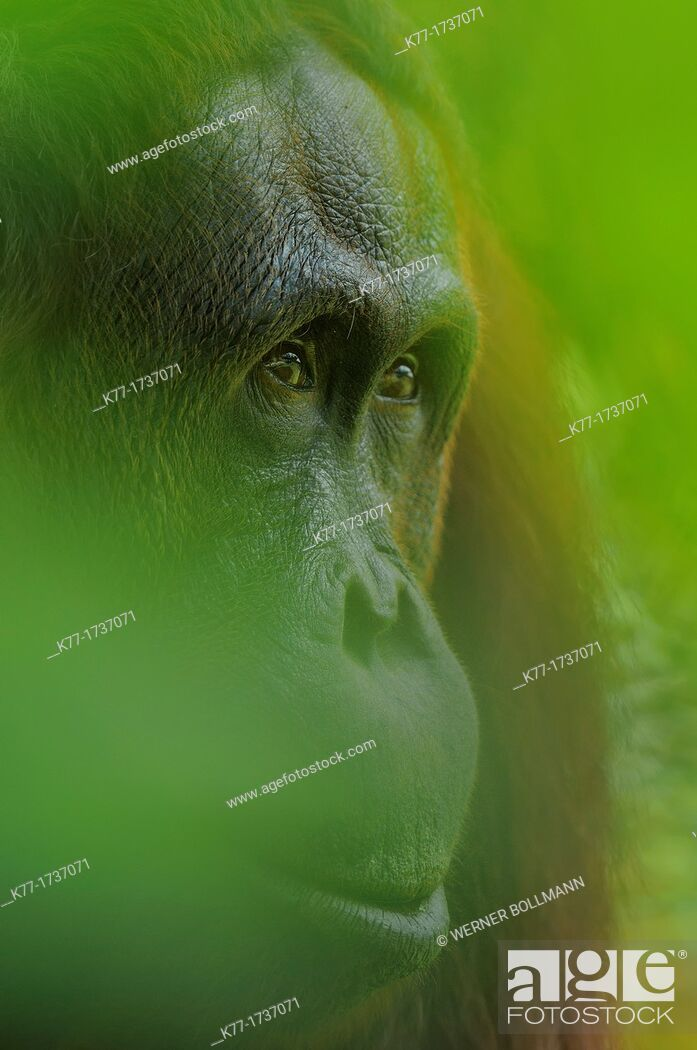 Stock Photo: Orang Utan Pongo pygmaeus, Tanjung Puting National Park, Province Kalimantan, Borneo, Indonesia.