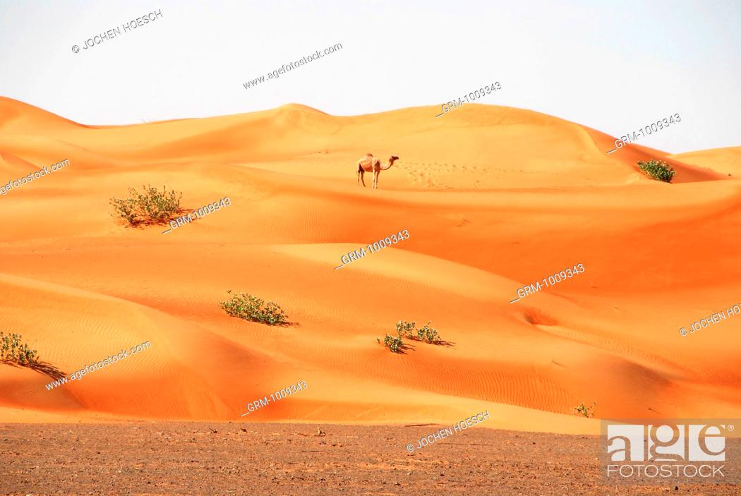 Stock Photo: Camel in the desert near Al Ain, United Arab Emirates.