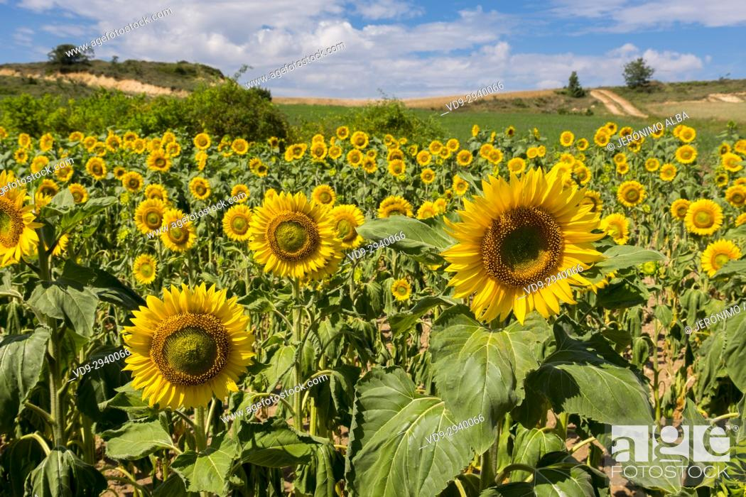 Stock Photo: Sunflowers field in summer. Las Merindades County Burgos, Castile and Leon, Spain, Europe.