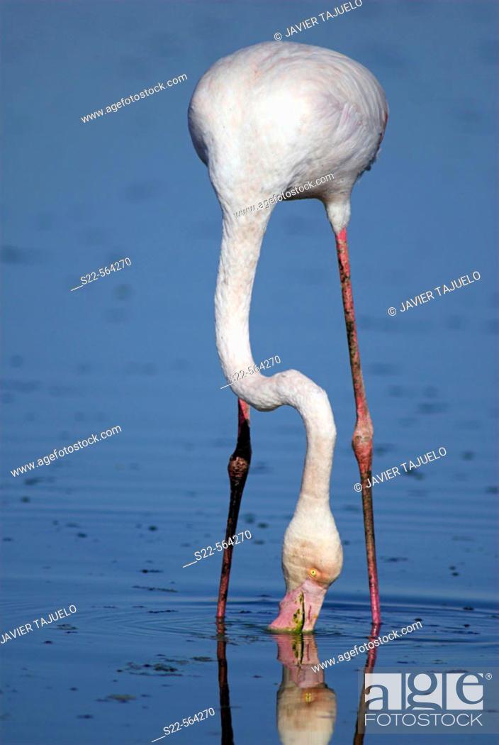 Stock Photo: Greater Flamingo (Phoenicopterus ruber). Toledo, Castilla La Mancha, Spain.