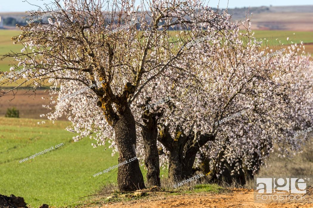 Stock Photo: Almond trees in bloom and green sown fields. Corral Rubio. Albacete province. Spain.