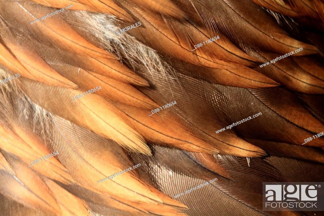 Stock Photo: aigle royal  Detail plumage  Golden Eagle Aquila chrysaetos Order : falconiformes family : accipitrides.