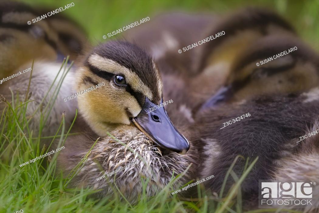 Imagen: Ducklings Cuddling.
