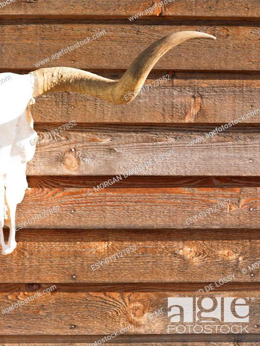 Stock Photo: Cow Skull.