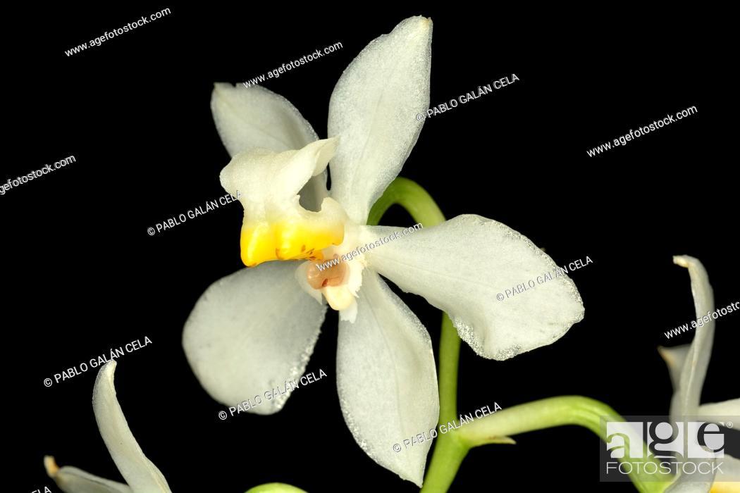 Stock Photo: Osmoglossum pulchellum on black background.