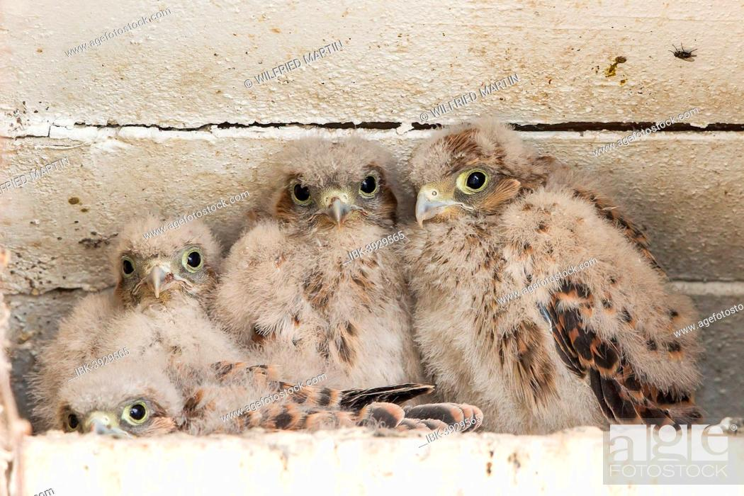 Stock Photo: Young Kestrels (Falco tinnunculus) in nest box, North Hesse, Hesse, Germany.