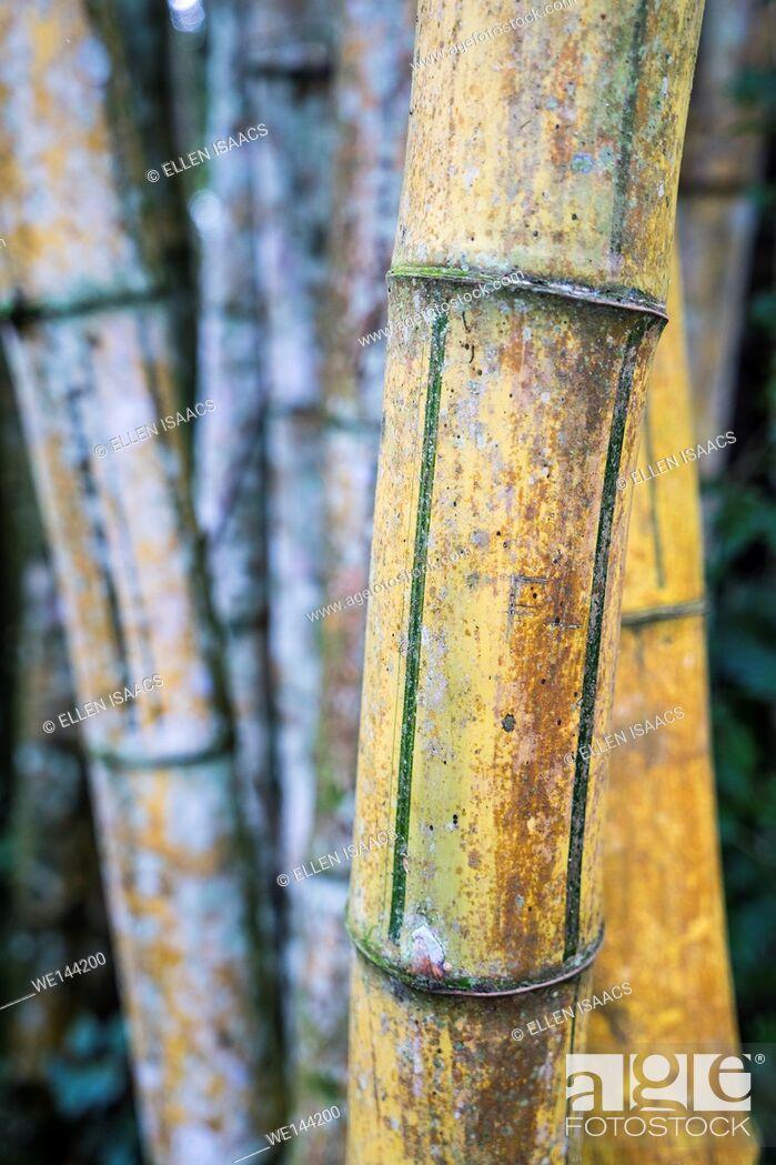 Stock Photo: Closeup of bamboo stem culms in Costa Rica.