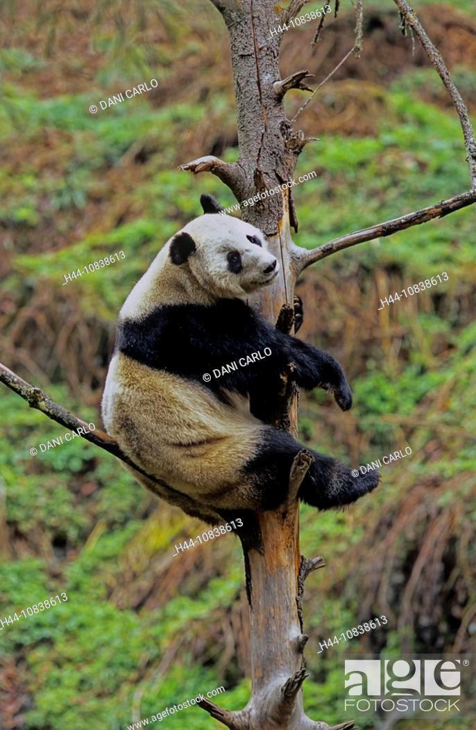 Stock Photo: Giant Panda, Ailuropoda Melanoleuca, Wolong, Sichuan, China, Asia, Sichuan Giant Panda Sanctuaries, Man And Biosphere.