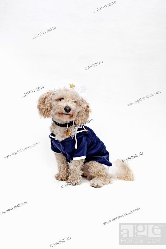 Stock Photo: A mixed breed dog wearing a sailor suit and sailor hat.