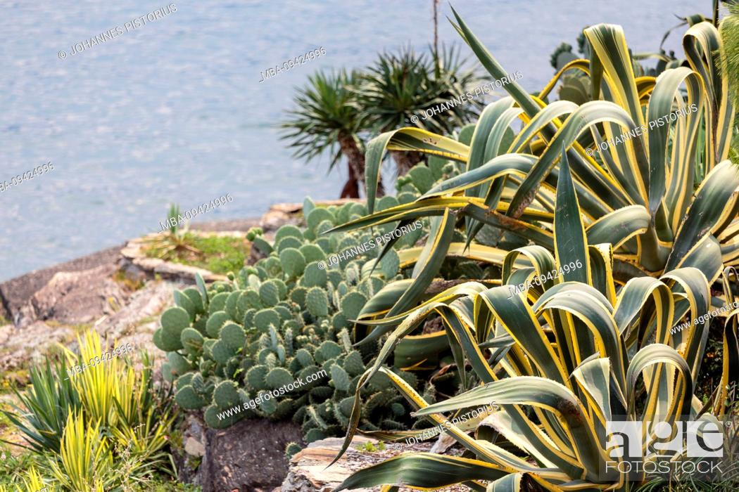 Stock Photo: Europe, Italy, Piedmont, Verbania. The lush bank of cactus and other succulents on the banks of Isola Madre. Behind it the waters of Lake Maggiore.
