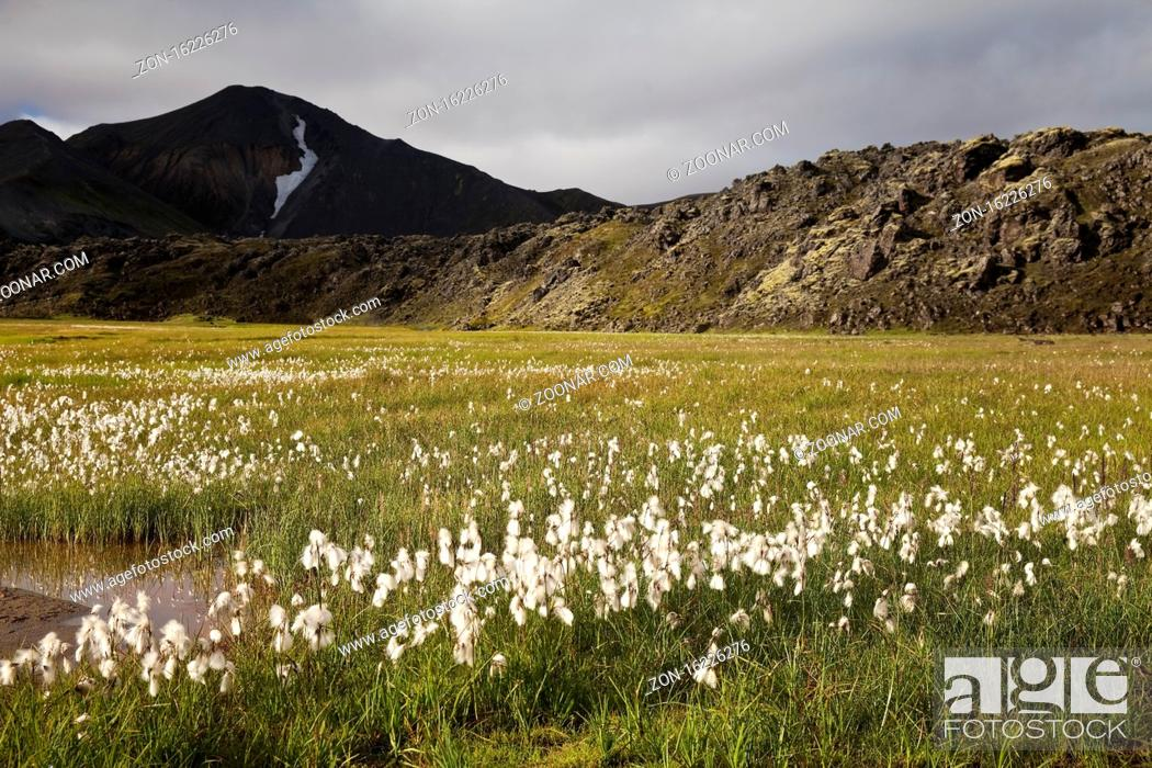 Stock Photo: Wollgras (Eriophorum), Landmannalaugar, Fjallabak Nationalpark, Island, Europa.