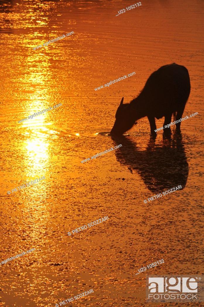 Stock Photo: Angkor (Cambodia): water buffalo at sunset.