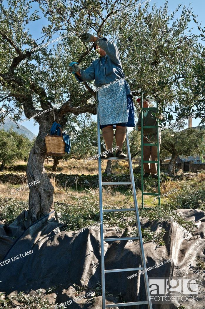 Stock Photo: Harvesting Kalamata olives, near Kardamyli in the Outer Mani, Messinia, Southern Peloponnese, Greece.