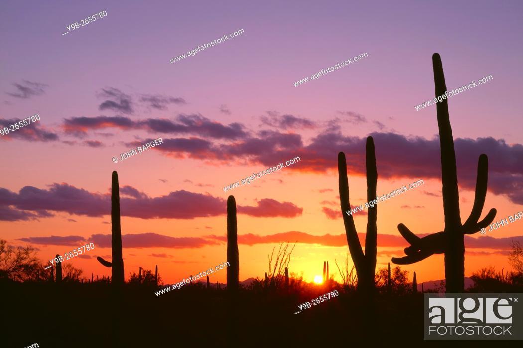 Stock Photo: USA, Arizona, Saguaro National Park, Saguaro cacti are silhouetted at sunset in the Tucson Mountains.