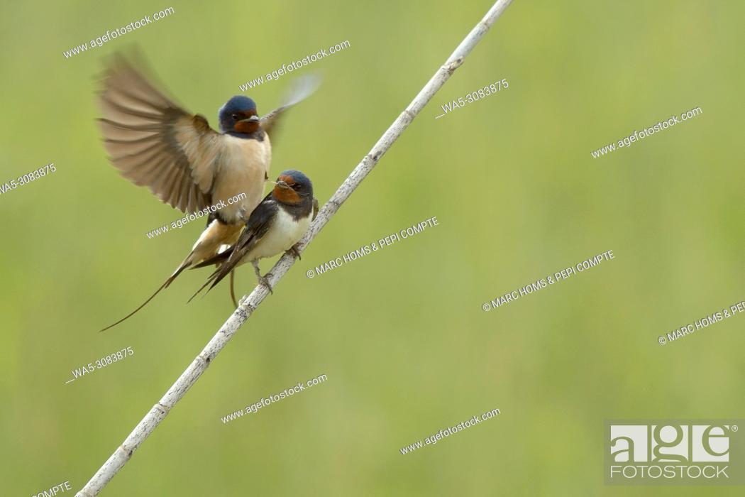 Imagen: Barn swallow copulating in Aiguamolls de l'emporda natural park, Catalonia, Spain.