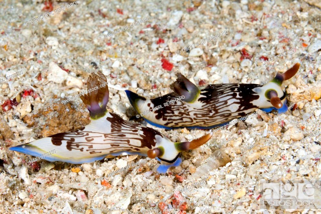 Imagen: Two Dorid Nudibranch, Nembrotha lineolata, Komodo National Park, Indonesia.