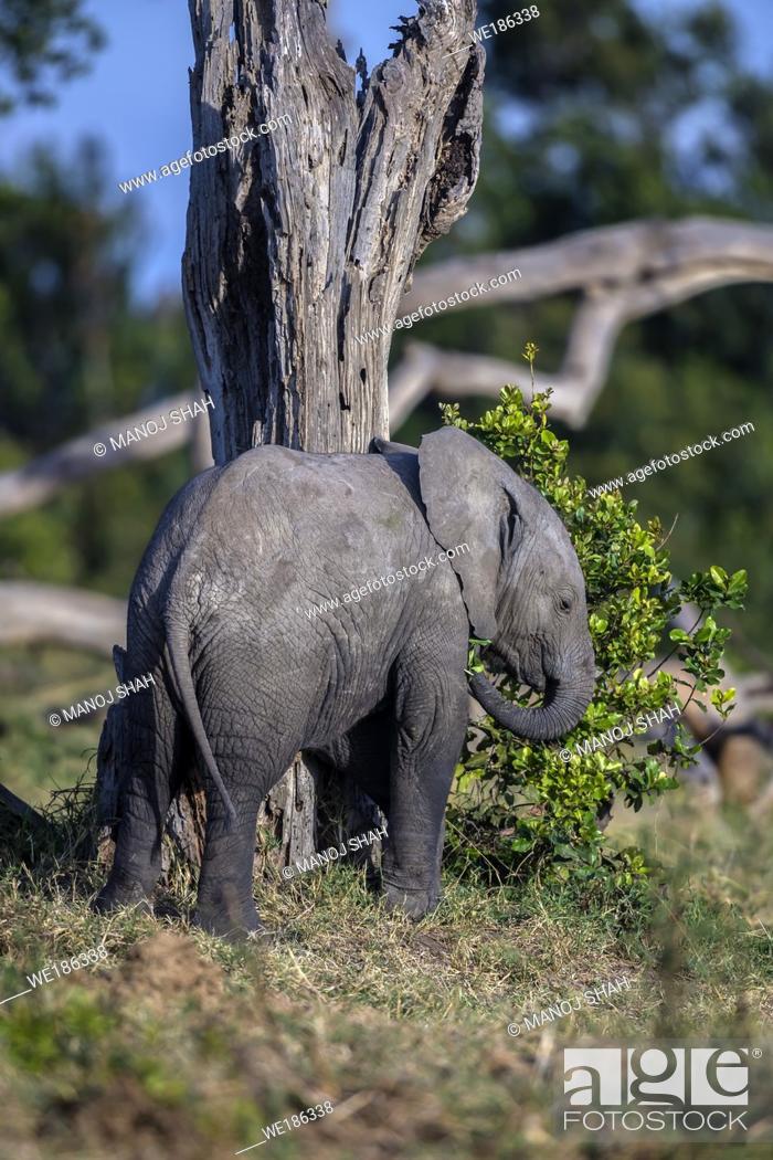 Stock Photo: African Elephant baby feeding on bushes in OL Pejeta, Laikipia.