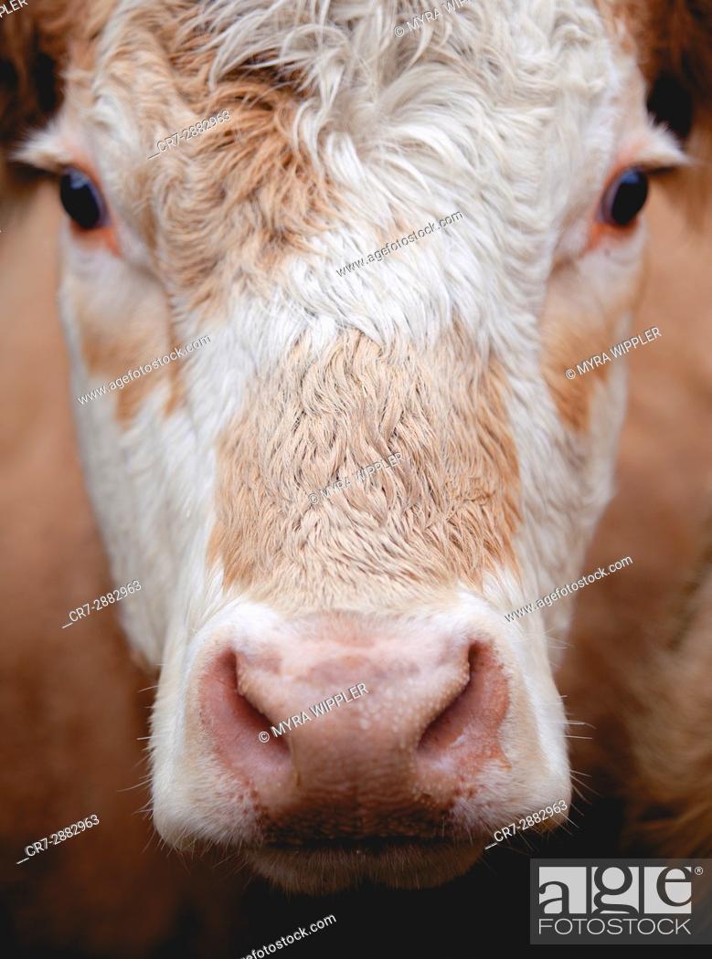 Stock Photo: Swedish cow, close up.