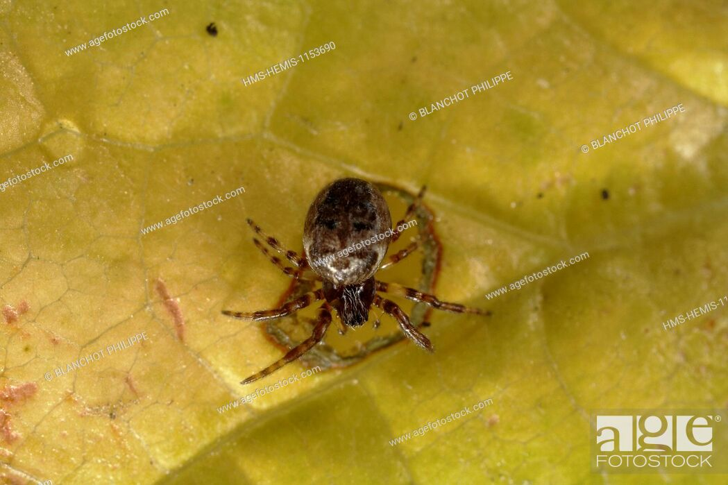Stock Photo: France, Araneae, Theridiidae, False black widows (Steatoda bipunctata).