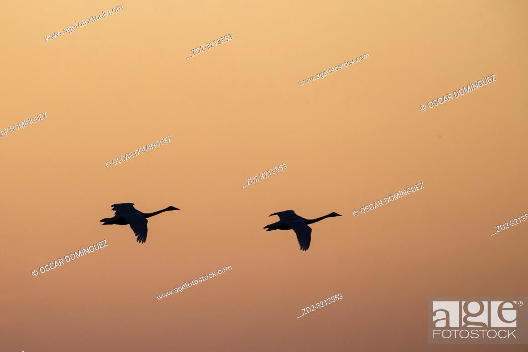 Stock Photo: Whooper Swan (Cygnus cygnus) flying in to land at sunset in golden light. Lubana Wetland Complex. Latvia.