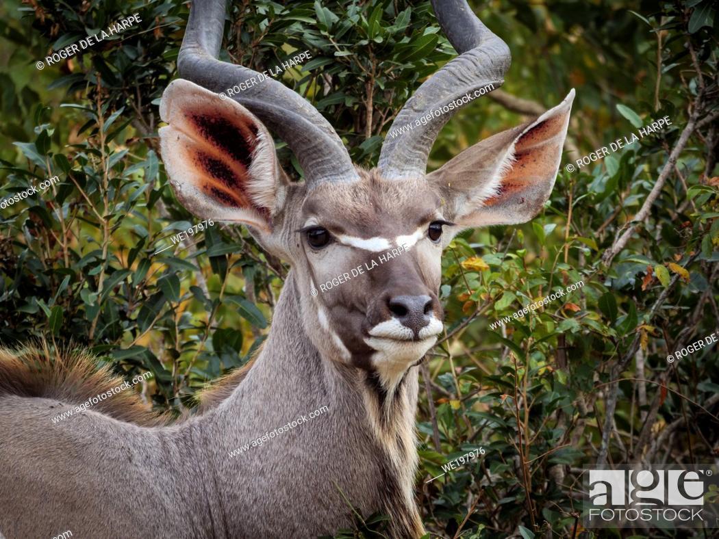 Stock Photo: Greater kudu (Tragelaphus strepsiceros) male. Mpumalanga. South Africa.