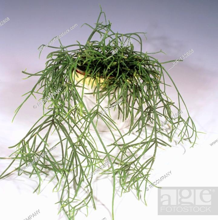 Stock Photo: Mistletoe cactus / Rhipsalis baccifera.
