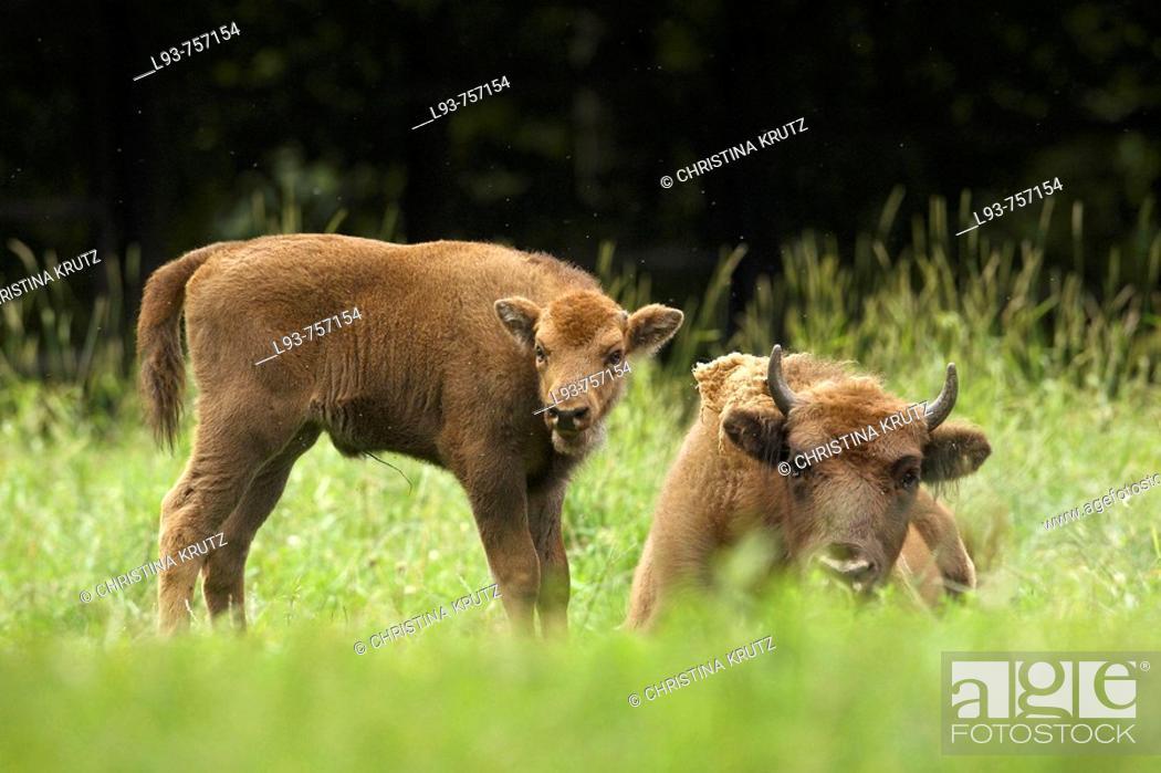 Stock Photo: European bison Bison bonasus.