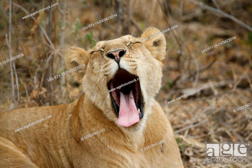 Stock Photo: Lionness, Tanzania.