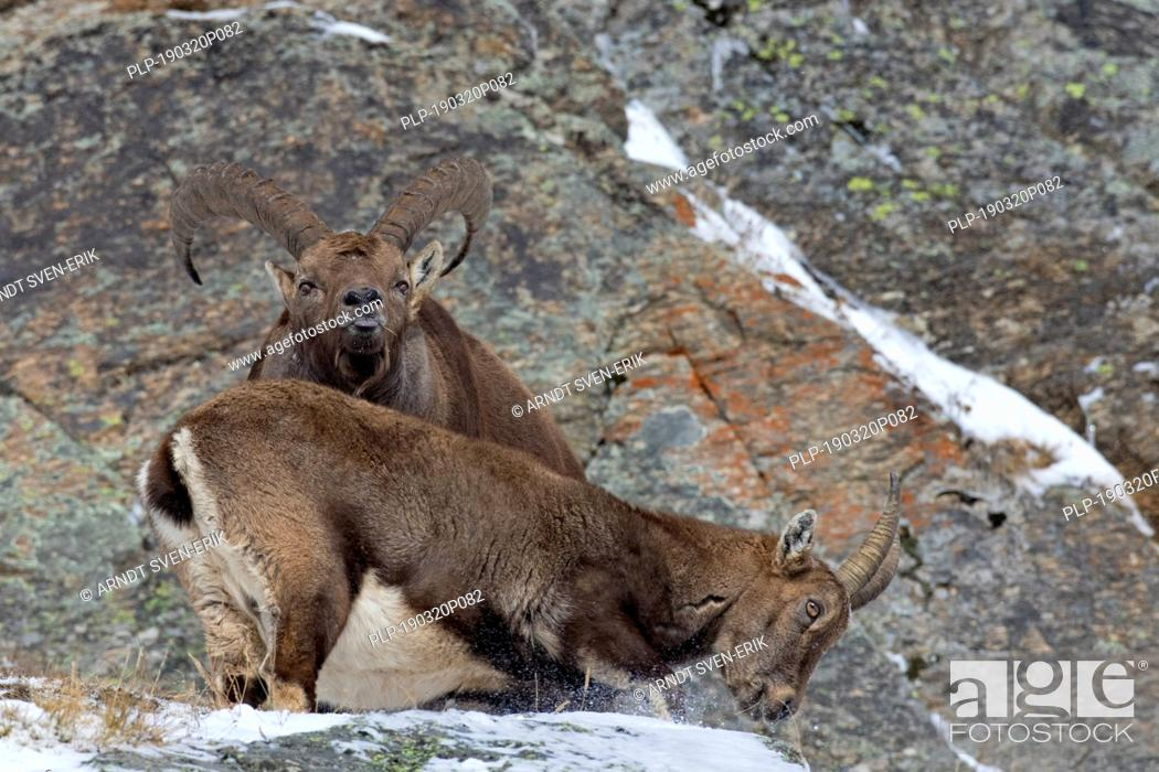 Stock Photo: Alpine ibex (Capra ibex) female and male with large horns scenting air with tongue during the rut in winter, Gran Paradiso NP, Italian Alps, Italy.