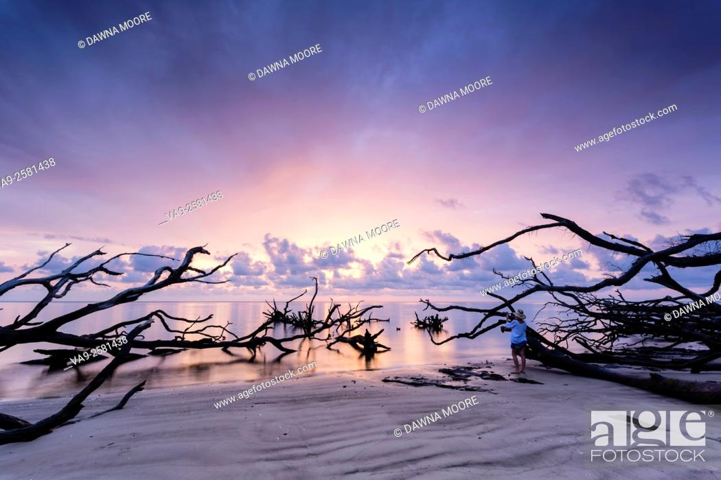 Stock Photo: A photographer captures the gorgeous sunrise over the driftwood on the beah at Blackrock Trail, Big Talbot Island State Park.