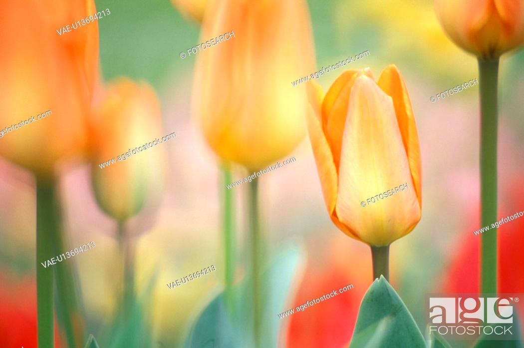 Stock Photo: flower bed, calf, flora, dainty, colorful, flowers, austria.
