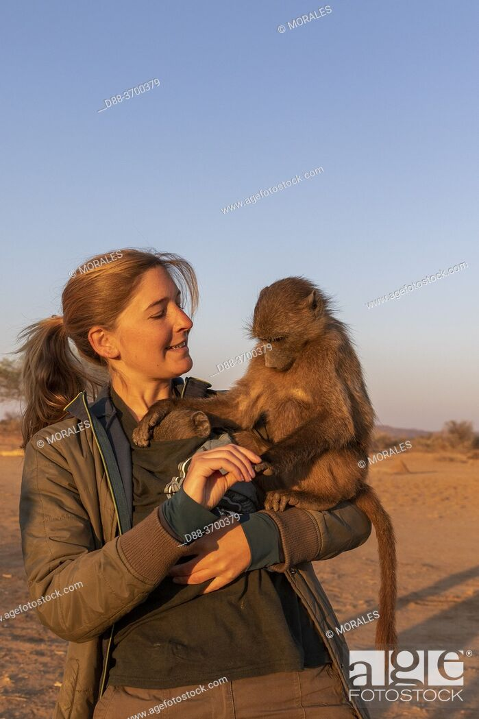 Photo de stock: Africa, Namibia, Private reserve, Chacma or chacma baboon (Papio ursinus), young carried by volunteers.