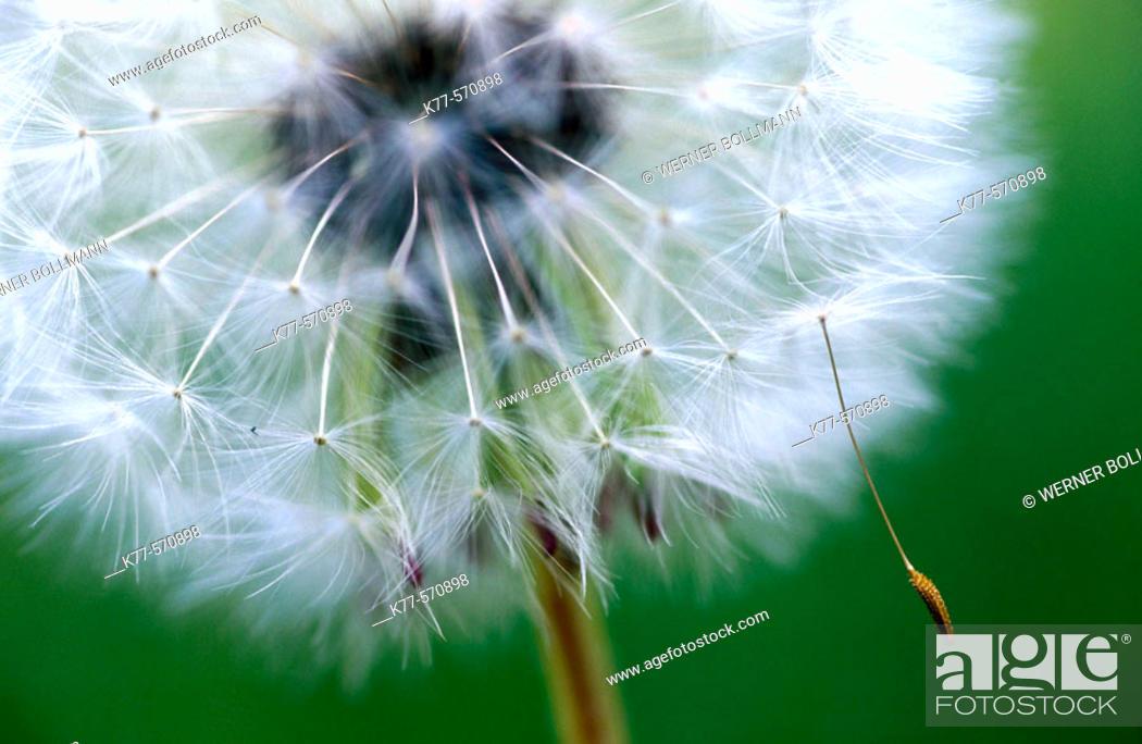 Stock Photo: Common Dandelion (Taraxacum officinale). Oland, Sweden.