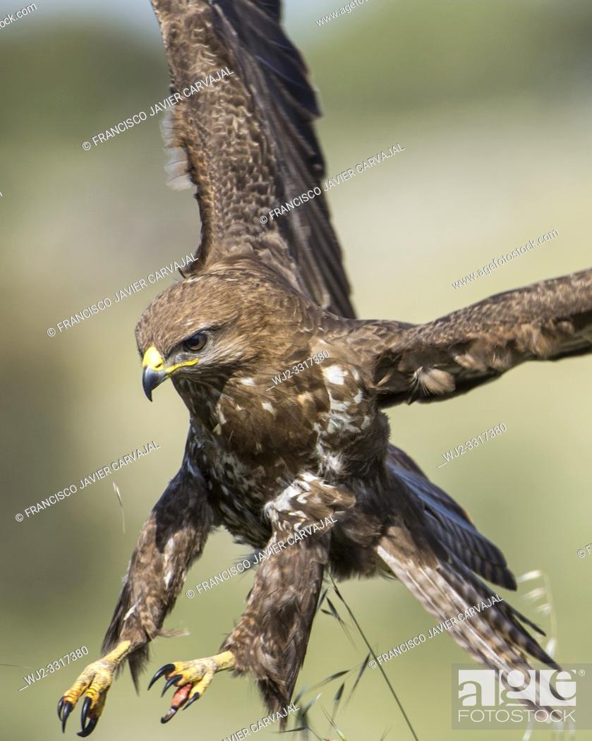 Stock Photo: Common buzzard plummeting over its prey, Extremadura, Spain.
