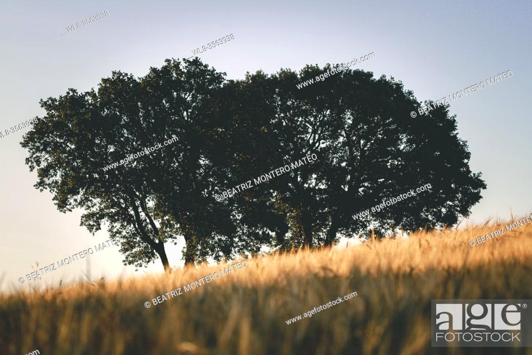 Stock Photo: Sunset in the wheat fields of Lerma in Burgos, Spain.