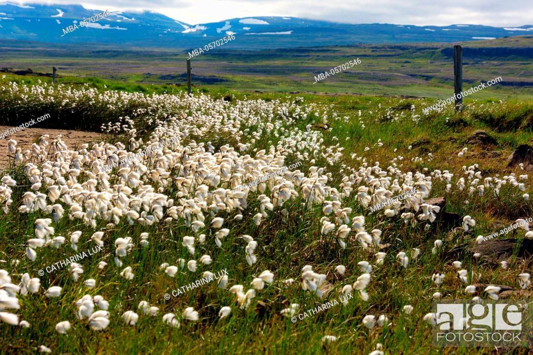 Stock Photo: Peninsula Snaefellsnes, cotton grass.