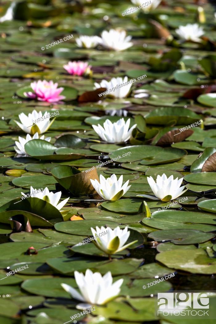 Stock Photo: Seerosen (Nymphaea) im Teich.