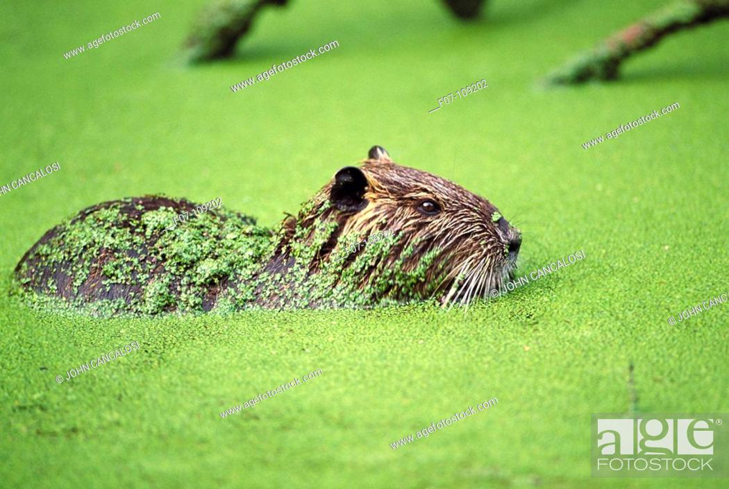 Stock Photo: South American Nutria (Myocastor coypus). Louisiana, USA.