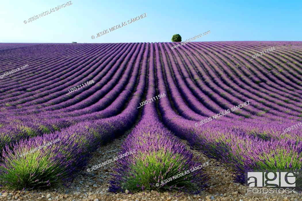 Stock Photo: Lavender fields (Lavandula angustifolia), in Valensole plateau. Digne-les-Bains district, in Alpes de Haute Provence department and Provence-Alpes-Cote d'Azur.