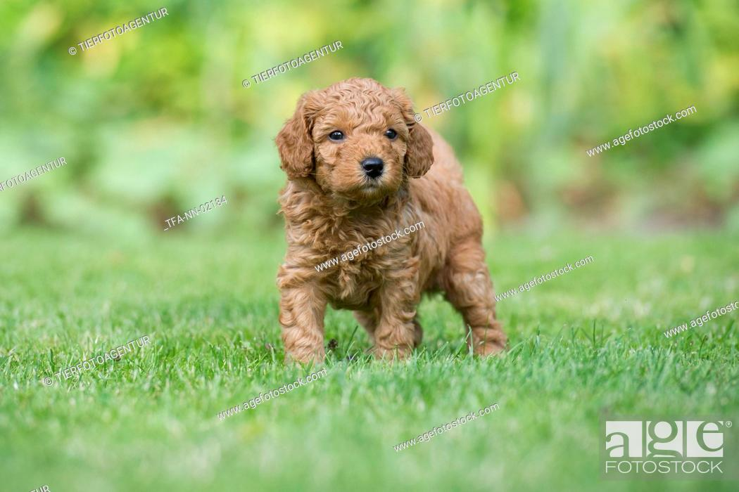 Small Poodle Puppy Stock Photo