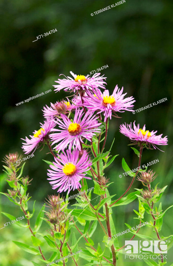 Stock Photo: New England aster ( Aster novae-angliae) in the native grasslands of the Canadian priairies.