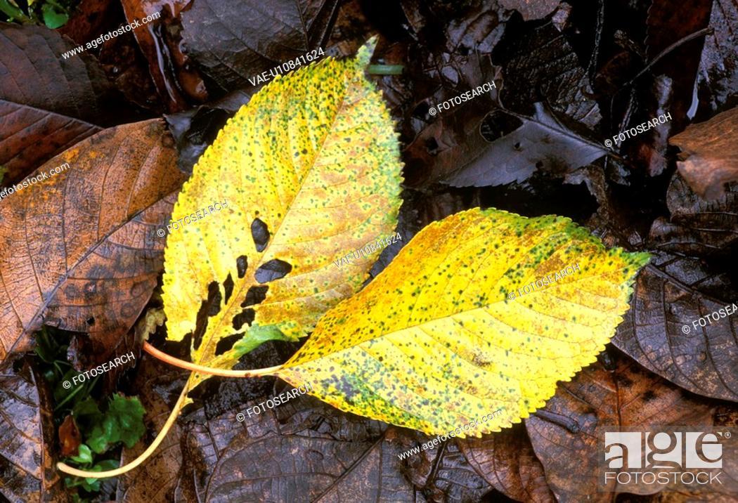 Stock Photo: decaying, autumn, damp, calf, burgenland, foliage, austria.
