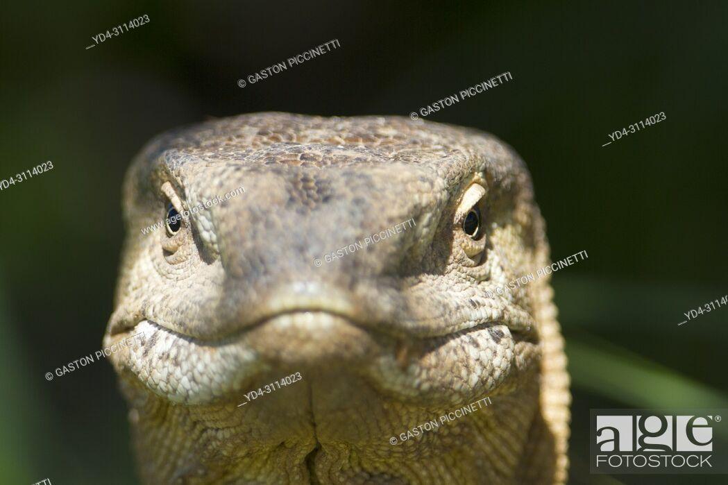 Imagen: Monitor lizards (genus Varanus), Kalahari desert, Kgalagadi Transfrontier Park, South Africa.