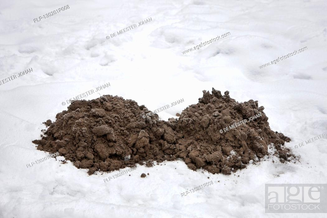 Stock Photo: Molehills / mole mounds / molecasts by European mole Talpa europaea on lawn in the snow in winter.