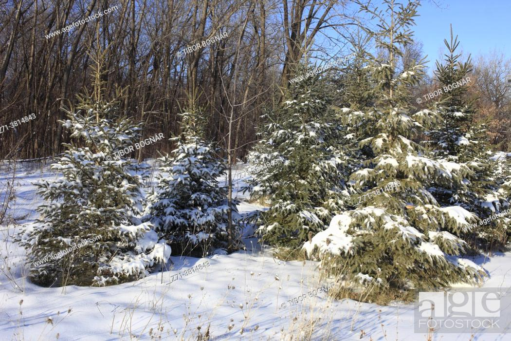 Stock Photo: Winter, forest, snow, Montreal, Canada, .
