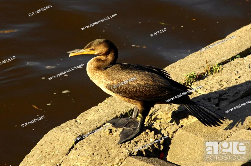 Stock Photo: Great Cormorant sitting on the shore of a lake.